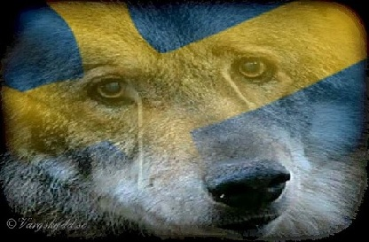 News about wolves in Sweden