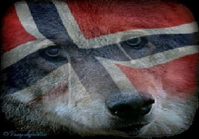 Wolf in Norwegen